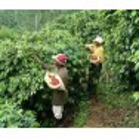 Jamaica Blue Mountain finca Wallenford New Crop
