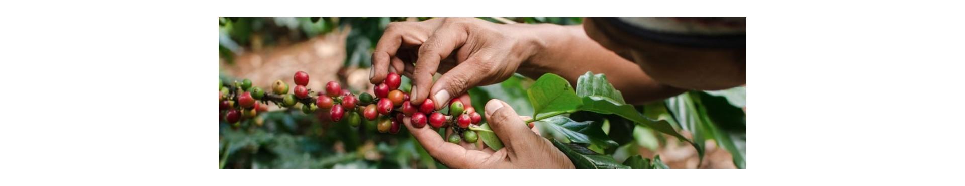 Cafe organico gourmet arabica